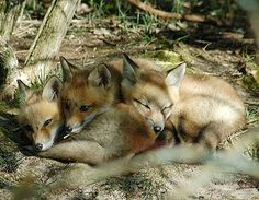 It's cuddle time! Check out these adorable red fox kits spotted in Michigan. (Don Henise/Creative Commons) #Michigan #wildlife #nature #fox