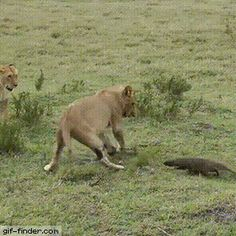 Lion Vs Mongoose | Gif Finder – Find and Share funny animated gifs