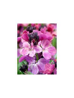 Cheiranthus cheiri, Sunset purple.  Den lille pastel lilla skønhed blomstrer over en meget lang periode og er nem at placere i haven.  Gyldenlak blomstrer året efter såning. Det første år kommer der kun blade.  Gyldenlakfrø sås direkte på voksestedet fra maj - juni. Frø kan også sås indendøre i marts - april og udplantes på voksestedet fra maj. Sunset purple frøene skal kun lige netop dækkes med jord. Trives i sol og halvskygge. Planteafstand: 20-25 cm.
