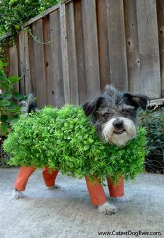 88 best diy pet clothes images on pinterest pet clothes dog diy pets crafts diy how to make a chia pet halloween costume for your solutioingenieria Image collections