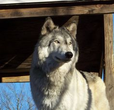 wolf dog -Beautiful!