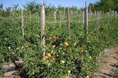 afectate și se distrug astfel ca să nu Tomato Farming, Diy And Crafts, Home And Garden, Cottage, Outdoor Structures, Landscape, Architecture, Image, Gardening