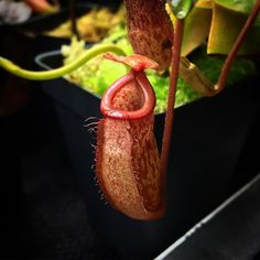 Cute little guy! #californiacarnivores #nativeexotics #nepenthes #monkeycups #pitcherplants  #carnivorousplants #carnivoroustagram #carnivorousplantswag #plant  #nature #sphagnum #tropical #trending #terrarium #vivarium #botany #moss #greenhouse @bailey_cook_reptiles by joes.carnivores