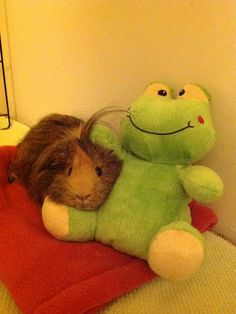 Poppy is a guinea pig who loves her stuffed animal friend. Baby Guinea Pigs, Guinea Pig Toys, Guinea Pig Care, Hamsters, Rodents, Baby Animals, Funny Animals, Cute Animals, Homemade Cat Toys