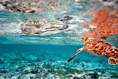 Sea Turtle in Key Noronquí. Los Roques. Venezuela by Marianna Di Ferdinando (film) Nevada National Parks, Turtle Time, Andes Mountains, Largest Countries, Sierra Nevada, Archipelago, Merida, Deep Blue, Oceans