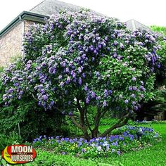 Texas Mountain Laurel - Texas Mountain Laurels represent everything you want in a flowering tree: beautiful and long-lasting blooms, a wonderful aroma, and a sturdy structure that keeps its leaves all year. The Texas Mountain Laurel blooms with large spikes of blue or lavender flowers that have a strong aroma similar to grape juice or juicy fruit gum. These ornamental beauties provide these great benefits in a small package, so planting in rows can quickly multiply this effect.