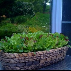 Gourmet lettuce basket. Plant by April 15 and makes a great edible centerpiece for Memorial day picnic!