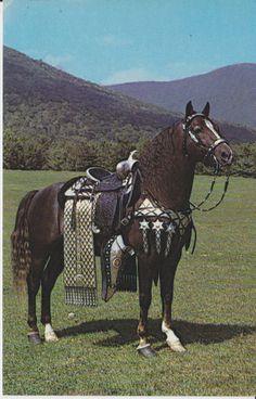 Morgan horse ready for a Parade.