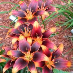 Lilium starlette