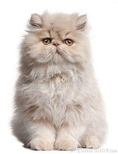 young-persian-cat-sitting-17952898 #PersianCat