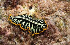 Divided Flatworm(Pseudoceros dimidiatus) Length: 8cm Location: Tropical Indian and western Pacific oceans