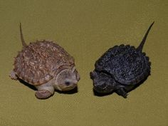 Baby Alligator Snapping Turtles