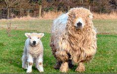 Sheep Breeds: Greyface Dartmoor
