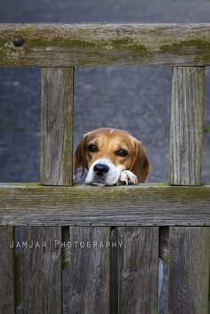 At the Gate - 'Hurry Home, I'll miss you' Beagle puppy