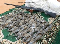 Algérie: les émirs saoudiens braconnent en toute impunité les espèces protégées