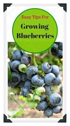 best tips for growing blueberries