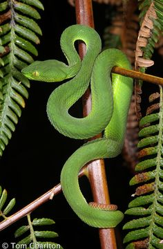 VPI Axanthic Pastel Sugar Ball python, Beautiful snakes