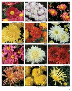 University of Minnesota Hardy Chrysanthemums Developed by the U of MN :: Hometalk