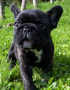 Baby Frenchy Dog....I have to have this dog!