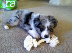 Blue Mini Australian Shepherd