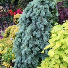 Weeping Norway Spruce -Picea abies 'Glauca Pendula', or Dwarf Weeping Blue Spruce - Picea pungens pendula
