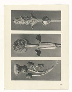 Karl Blossfeldt   Plantstudie, Karl Blossfeldt, Karl Nierendorf, Ernst Wasmuth, 1928   facher Vergrößerung. Afkomstig uit losbladige uitgave.