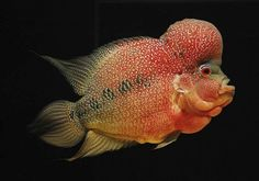 Flowerhorn cichlids are aquarium fish noted for their vivid colors and the distinctively shaped heads. How to keep and care for flowerhorn cichlids.