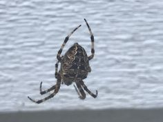 Cross spider 9.15.17