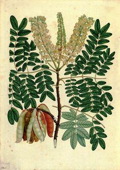 Tara_ Caesalpinia spinosa (Feuillée ex Molina) Kuntze_ Signatura: RJBDIV.III-A02757 Dibujo original realizado durante la 'Real Expedición Botánica del Nuevo Reino de Granada' (1783-1816), dirigida por el médico y naturalista José Celestino Mutis, y que dio lugar a la recolección y clasificación de cerca de 30.000 especies vegetales y animales. La especie representada tiene una gran variedad de utilidades. Enlace: http://www.rjb.csic.es/icones/mutis/paginas/laminadibujo.php?lamina=5353
