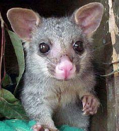 greater glider possum | Possum Inte raction with humans