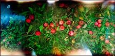 Les pommes sur l'herbe no. 2 -  BEAUDET Mario