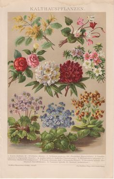 1884 Antique Botanical Print Acacia Cyclamen by Craftissimo, €13.95