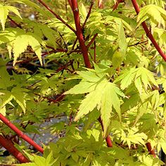 The Coral Bark Maple is Acer palmatum senkaki (syn.'Sango Kaku'), wonderful red stems on new red coral coloured growth. An easy care small Maple. Coral Bark Maple, Coral Color, Red Coral, Colour, Acer Palmatum, Maple Tree, Japanese Maple, Garden Trees, Trees And Shrubs