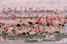 What is a flock of flamingos called? - Quora
