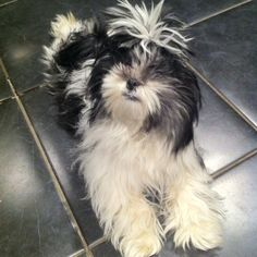 """Doreen's Lhasa apso """"Darcy"""".....not a fan of the up do! Haha"""