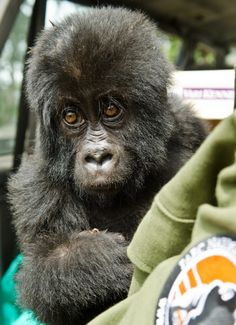 In addition to mountain gorillas, Virunga has a family of Eastern Lowland Gorillas, or Grauer's Gorillas, in the central western section of the park. This baby Grauer's gorilla was rescued from poachers in October last year, and named Shamavu after the ranger who saved him.