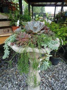 Succulents planted in bird bath.