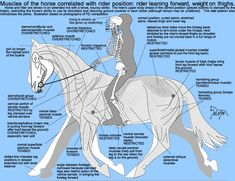 spiral seat hips shoulders horse | seat affects the integrated functioning of back muscles, so the horse ...