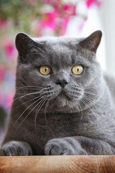Chocolate British Shorthair cat kitten Animals