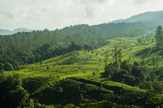 Tea plantations in West Java Indonesia