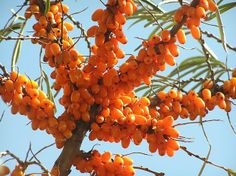 Sea Buckthorn Oil Uses in Medicine and Cosmetics