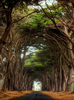 It's been a long time since I've seen the cyprus tree way to the Historic RCA building Point Reyes National Seashore, California Oh The Places You'll Go, Places To Travel, Places To Visit, Parks, Magic Places, Tree Tunnel, Pamukkale, Cypress Trees, Belle Photo