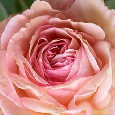 Um rapaz de Shropshire - Inglês Rose