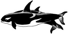 FUNDY WHALE: PACIFIC: We Can Save Southern Resident Orcas