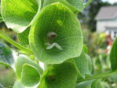 Best Green Flowers for the Garden: Bells of Ireland