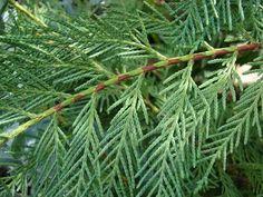 Cypress Leaf, Organic 5ml