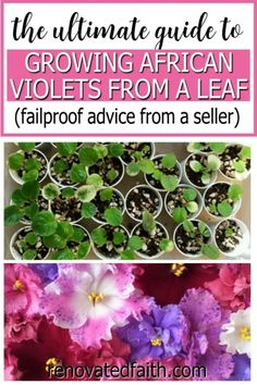 This step by step tutorial will show you how to start African violets from a leaf the EASY way. It shows how to separate African violet babies and the right way to plant them. This is my go-to method of how to multiply African violets. I also show the right humidity, LED lighting, watering and what to do with an African violet broken stem. This works on any hybrid and lists supplies including pots, fertilizer and soil. Flowering House Plants, House Plants Decor, Air Plants, Plant Decor, Indoor Plants, Home Renovation, African Violet, Diy Décoration, Diy Home Improvement