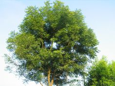 The neem tree is a sacred tree and the source of neem oil, an important biologic pesticide. Learn how to grow one for yourself.