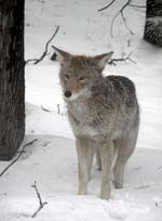 Coyote Calling Tips   Predator Calling Tips