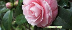 Ikebana Arrangements, Camellia, Rose, Garden, Flowers, Plants, Weddings, Pink, Garten